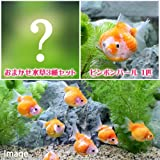 (金魚 水草)ピンポンパール(1匹) +おまかせ水草3種セット 本州・四国限定[生体]