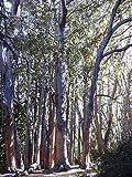 """Australische Eiche - **Eucalyptus obliqua """"Victoria """" ** - Samen-"""