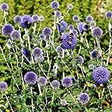Outsidepride Globe Thistle Flower Seed - 500 Seeds