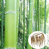 50 Seeds Phyllostachys Edulis 'Jaquith' Moso Bamboo Plant