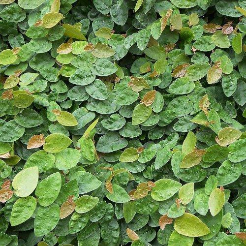 Ficus pumila, Creeping Fig vine