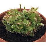 Spoonleaf Sundew Plant -Drosera spathulata- Carnivorous