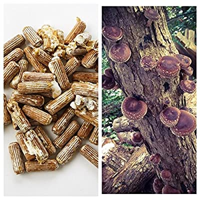 Shiitake Mushrooms Mushroom Mycelium Plug Spawn - 100 Count Plugs - Grow Edible Gourmet & Medicinal Shitake Fungi On Trees & Logs