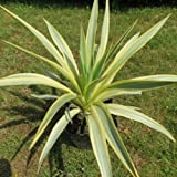 Yucca gloriosa 'Bright Star' (Spanish dagger) 3 ltr pot
