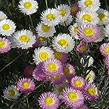 Splendour Seeds Acroclineum Roseum Mixed Seeds - 1 Gram