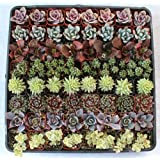 Stunning Succulent Rosettes from Shop Succulents Licensed Nursery (20)