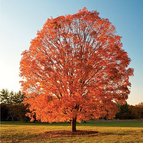 Sugar Maple ~ West Virginia state tree