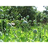 28.2 Grams Gigantuim Papaver Somniferum Poppy 20,000+ Seeds