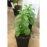 LIVE Stevia Herb Plant - Organic NON-GMO - 2 (TWO) Plants Fit 3.5