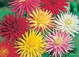 Premier Seeds Direct DAH04F Dahlia Cactus Hybrids Mixed Finest Seeds (Pack of 30)