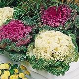 Biocarve Ornamental Kale - Pack of 100 Seeds