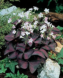 Oxalis Triangularis (Purple Shamrock) - 25 robust bulbs - #1 Tubers