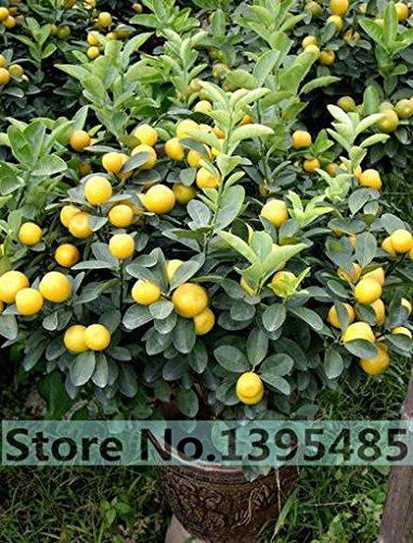 20pcs-semences-sac-balcon-patio-arbres-fruitiers-en-pot-plantes-les-graines-de-kumquat-les-graines-d
