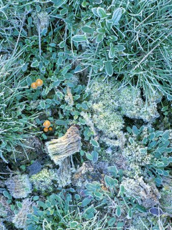 Grasses, Mosses and Fungi Edged with Frost