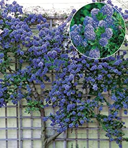 ceanothus trewithen blue blaue s ckelblume winterhart 1 pflanze garten. Black Bedroom Furniture Sets. Home Design Ideas
