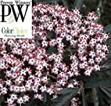 Black Lace TM Elderberry - Sambucus - NEW - HARDY -Proven Winners - 4