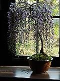 藤盆栽 薄紫の藤のお花から 香りも楽しめます。 信楽焼の鉢入り 母の日花 -