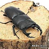 (昆虫)国産オオクワガタ 産地累代数不明 成虫 70~72mm(1ペア) 本州・四国限定[生体]