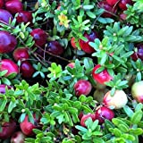 Cranberry Plants Imported from USA- 6 plants Pack (Ben Lear, Steven and Pilgrims suitable for Warm-Chill Climate) 6-9 months Old.Grows in Container/Lawn/Patio/Garden/Pot.BOOK YOUR PLANTS NOW!! DELIVERY IN MARCH 1ST WEEK (6)