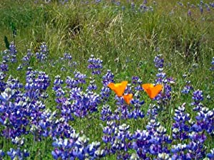 "Poppies and Lupine, Rockville Park, Fairfield, California - Matted Photo Art Print 11"" X 14"
