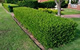 3 Common Box / Buxus Sempervirens Plants 30-40cm Bare Rooted