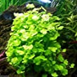3x Cardamine Lyrata Japan | Live Aquarium Plants Dwarf Pennywort Java Moss Fern