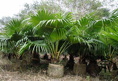 green-garden-livistona-chinensis-semillas-100pcs-planta-ornamental-fuente-de-palm-semillas-semillas-
