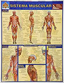 Sistema Muscular (Aprenda Facil): Unknown: 9789702401346: Amazon.com
