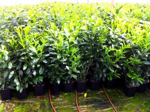 kirschlorbeer kaufen top pflanzen frisch aus der baumschule. Black Bedroom Furniture Sets. Home Design Ideas