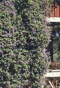 Blue Alpine Clematis 15 Seeds - Vine