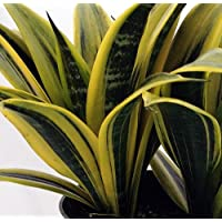 Gold Flame Snake Plant - Mother-in-law's Tongue - Barbershop Plant - Sanseveria