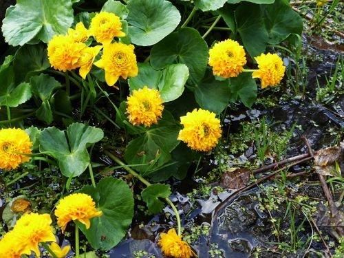 caltha-palustris-multiplex-gefullte-kreidezeit-yema-de-huevo-flor