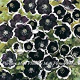 ネモフィラは種子200脚をmenziesii /植物盆栽植物に非常に簡単にホーム&ガーデンのためにレア黒い花の種子を詰めます