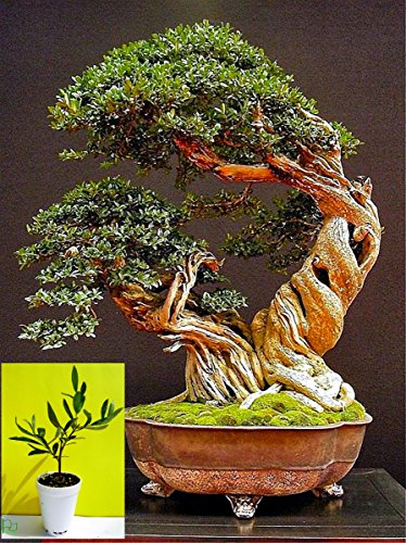 Mini Bonsai - Olive Tree