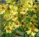 Flower - Verbascum chaixii yellow - 100 Seeds