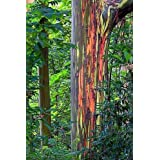 Eucalyptus Deglupta - Rainbow Gum - Rare Exotic Tropical Tree Bonsai Seeds (30+)