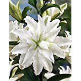 Annika Double Oriental RoseLily 2 Bulbs - Huge Double Blooms - Fragrant