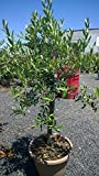 Arbequina Fruit Bearing Olive Tree, Five Gallon Specimen with Braided Trunk