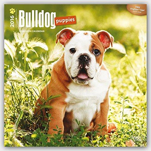 Bulldog Puppies 2016 Square 12x12 (Multilingual Edition) (French Bulldog Puppies Calendar compare prices)
