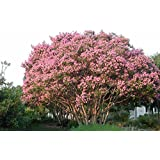 Tree Seeds : Lagerstroemia Speciosa - Shade Tree For Home Home Garden Pack By Creative Farmer