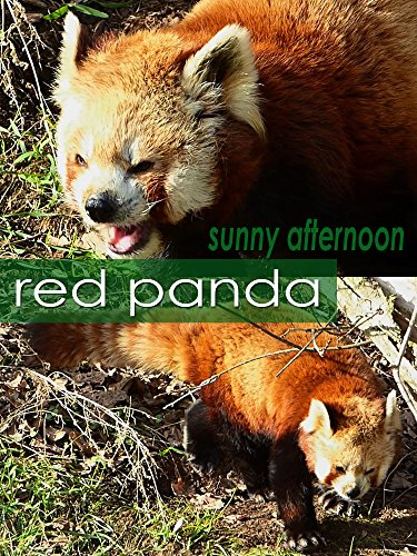 Red panda. Sunny afternoon