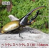 むしや本舗 ヘラクレスオオカブト成虫 オス(ヘラクレスヘラクレス) 130~134mm [生体]