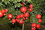 *SWEET DWARF POMEGRANATE TREE* 10 SEEDS *rare* #1056