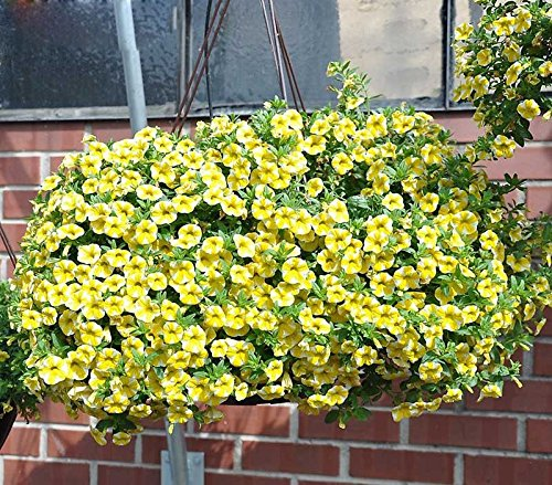 scarse-rari-semi-fetta-di-limone-superbells-calibrachoa-petunia-annuale-di-semi-del-fiore-100-batter