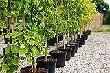 Ginkgo biloba Kräftiger Jungbaum ca.4 Jahre alt
