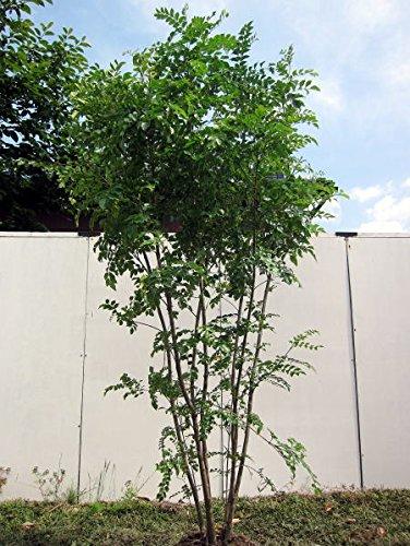 シマトネリコ 樹高1.8m以上(根鉢含まず) 株立