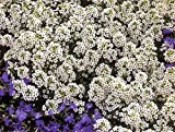 Alyssum White Flower Seeds 5 plugs /MULTI-BUY DISCOUNT/Fragrant ornamental plant forming real flower carpets