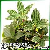 模様の入る葉が綺麗な葉!ペペロミア・プテオラータ 3号鉢苗