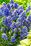 Fantasy Creation Grape Hyacinth 15 Bulbs - Muscari