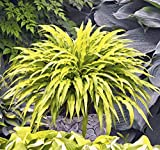Amazon / Hirt's Gardens: Curly Fries Hosta - Miniature - 4 Pot